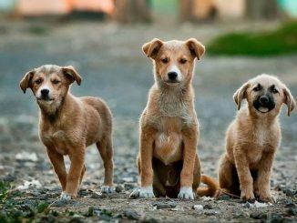 Câinii din Valu lui Traian vor fi microcipati